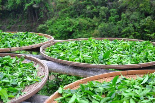 Čaj zelený sklizeň
