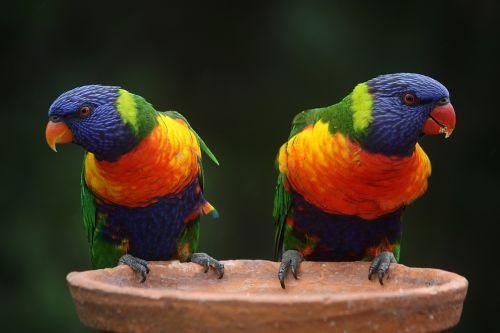 Barevní papoušci