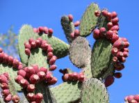 NOPÁL Opuncie - mletý kaktus, 50g