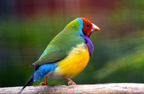 Duhový ptáček