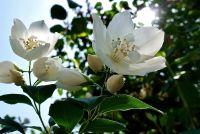 JASMÍN Květ - čaj bylinný sypaný, 30g