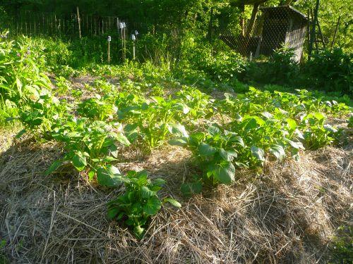 Pěstování brambor permakultura
