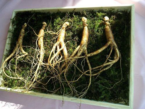 Ženšen kořen