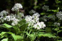 ČESNEK MEDVĚDÍ tinktura z léčivé rostliny, 50ml