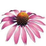 ECHINACEA Třapatka (květ+kořen) tinktura, 50ml