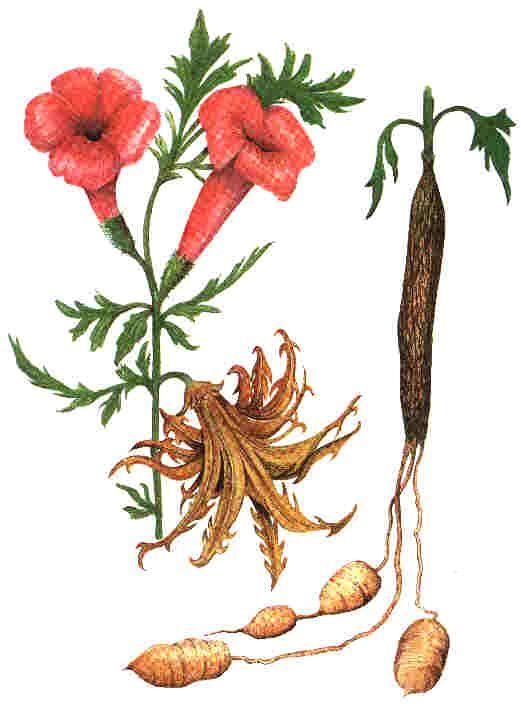 Harpagofyt čertův spár léčivá rostlina