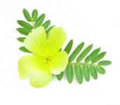 Kotvičník zemní léčivá rostlina