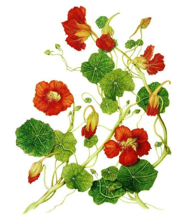 Lichořeřišnice větší léčivá rostlina