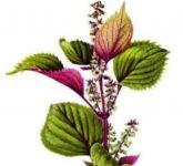 PERILA KŘOVITÁ tinktura z léčivé rostliny, 50ml