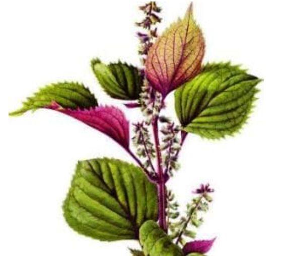 Perila křovitá tinktura proti alergii