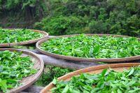 Čerstvý zelený čaj sklizeň