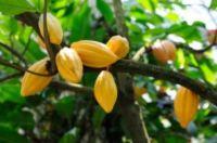 Kakaové boby nepražené celé