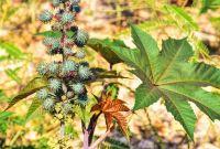 Skočec rostlina Ricin