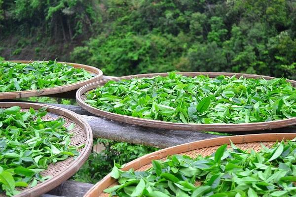 Kvalitní zelený čaj